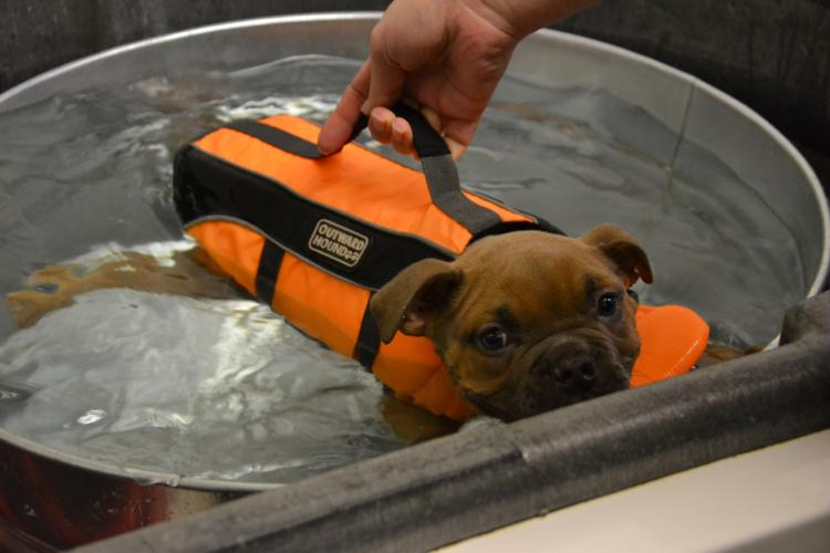 Puppy receiving swim therapy