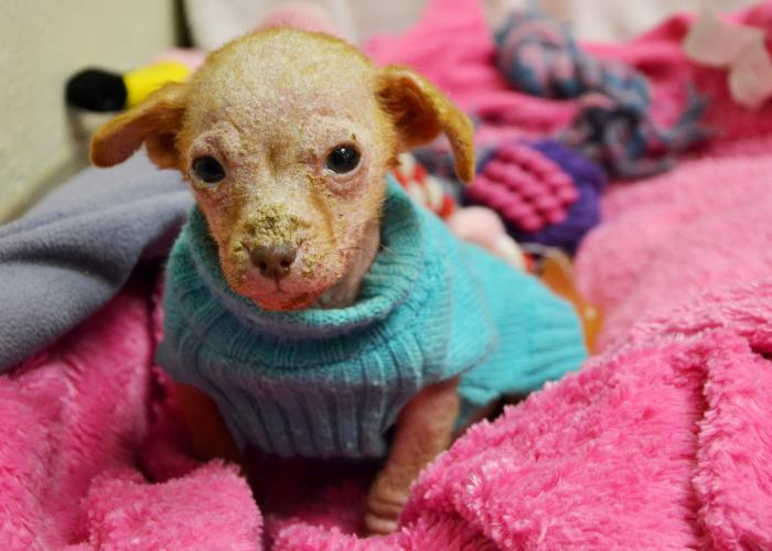 Hairless puppy in sweater