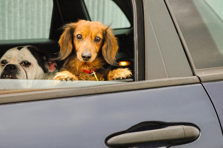 Dachshund looking out a car window